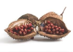 annatto-samen-in-frucht
