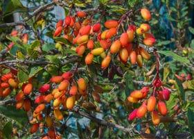 Berberitze rote Beeren Strauch