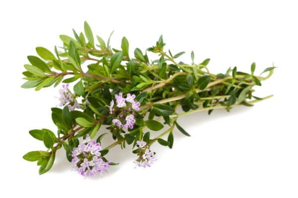 Bohnenkraut Zweige mit Blüten Artikel Warenkunde