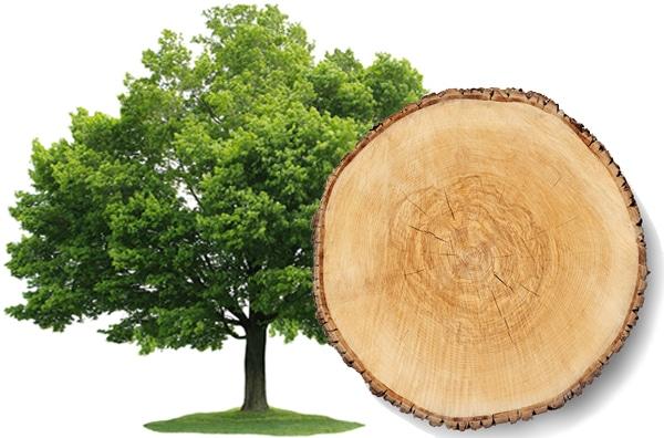 Ahorn Rauchsalz Baum und Scheibe