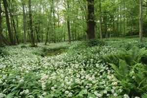 Bärlauchblüte im Laubwald