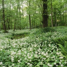 Bärlauch in voller Blüte