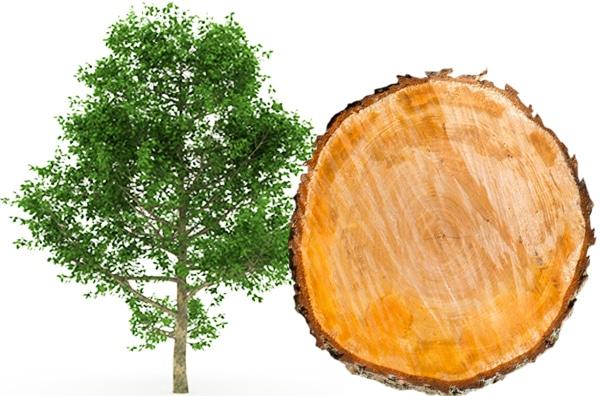 Spreewälder Erlen Rauchsalz Baum und Scheibe