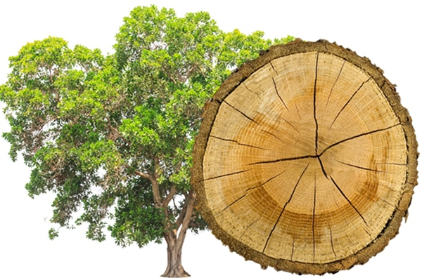 Hickory Rauchsalz Baum und Scheibe
