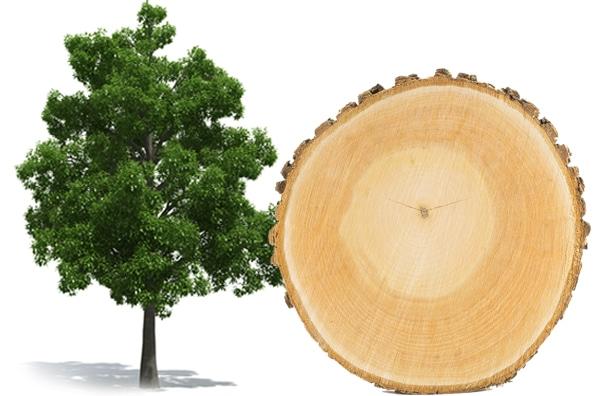 Buche Rauchsalz Baum und Scheibe