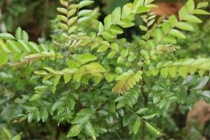 Curryblätter am Baum