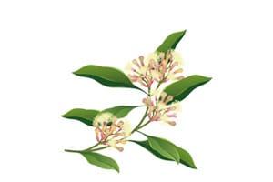 Illustration Gewürznelken Blüten und Blätter